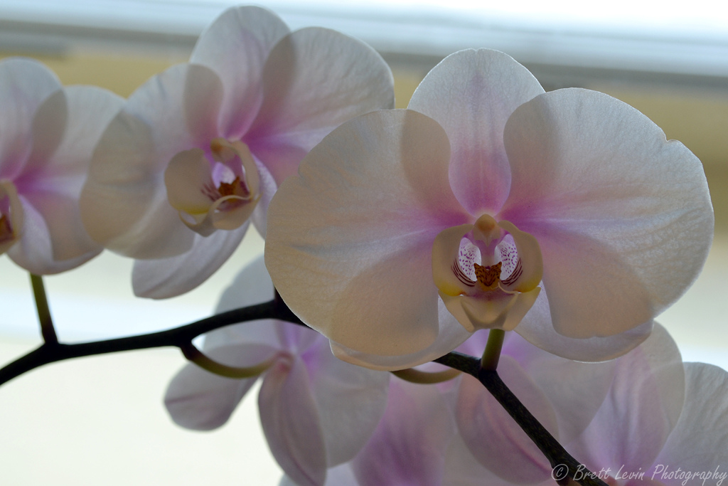how to keep orchids alive for years